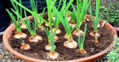 Gracias a BALAUSTRES MARTINEZ podremos disfrutar de las mejores cebollas cultivadas en nuestras casas en macetas. ¡Es así de fácil!