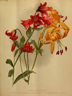 200584 Lilium bolanderi S. Watson / The garden. An illustrated weekly journal of horticulture in all its branches [ed. William Robinson], vol. 38: t. 776 (1890) [H.G. Moon]
