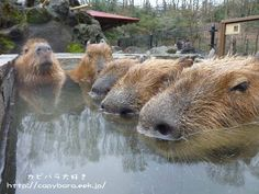 Don't be jealous japanese snow monkeys of my hot spring