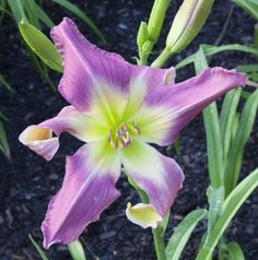 Daylily Screaming Pink Twister (Elliott-S. Daylily Garden, White Eyes, Day Lilies, Scream, Bud, Iris, Green, Plants, Pink