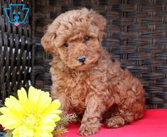 This super cute Toy Poodle is the perfect match for any household. She is super social, raised with children and has a playful personality. With her zest for life, she will NOT disappoint! This puppy is just as cute as a button. She is ACA registered, vet checked, vaccinated, wormed and comes with a 1 year genetic health guarantee. Her parents are Abbie Girl (Mini Poodle) & Chico (Toy Poodle). Don't let this puppy slip through your fingers! Call now!
