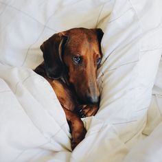 Dachshund Appreciation Society http://ift.tt/22jBmH #dachshund Appreciation Society http://ift.tt/22jBmHV