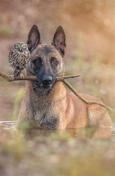 """""""Friendship in The Animal World.""""   Meet: 'Ingo' The Dog And 'Napoleon' The 1 Year Old Owlet.  (Photo By: Tanya Brandt.)"""