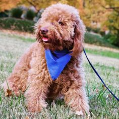 Life is good with a Goldendoodle. See Instagram photos from one loveable Goldendoodle @happygodoodle.  #goldendoodle #happygodoodle #redgoldendoodle Red Goldendoodle, Labradoodle, You Doodle, Doodle Dog, Poodle Mix Breeds, Dog Nose, Mixed Breed, I Fall, Life Is Good