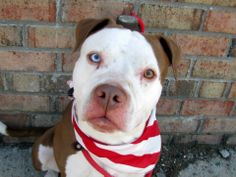 TO BE DESTROYED 5/18/14 Brooklyn Center -P  My name is DARWIN. My Animal ID # is A0999321. I am a male brown and white pit bull mix. The shelter thinks I am about 3 YEARS old.  I came in the shelter as a STRAY on 05/10/2014 from NY 11206, owner surrender reason stated was STRAY. https://www.facebook.com/photo.php?fbid=802299796449568&set=a.611290788883804.1073741851.152876678058553&type=3&theater