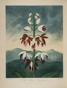 temple-fleur-illustration-Robert-Thornton-30 - La boite verte