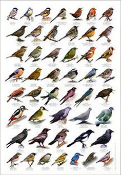 British Birds Identification Chart Wildlife Poster NEW British Birds Identification, Poster Shop, Backyard Birds, Garden Birds, British Garden, European Garden, Bird Poster, British Wildlife, Wildlife Art