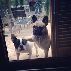 """""""Hey Mom, Johnny just broke the Sprinkler again!"""",....""""Don't listen to him, he's such a Liar Liar pants on fire!"""", typical French Bulldog Brothers."""