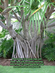 a wise man - tree by Sarasota Jungle Garden