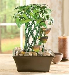 Its common knowledge that indoor plants can improve the air quality in your home. But did you know that having indoor gardens can also help reduce your stress, decrease headaches, lower blood pressure, help fight colds and improve your mood? Indoor Water Fountains, Indoor Fountain, Outdoor Wall Art, Outdoor Walls, Feng Shui, Lucky Bamboo Plants, Tabletop Fountain, Fast Growing Plants, Garden Bulbs