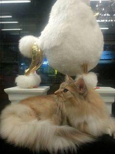 Huge Maine Coon Cat at Grooming Space Pet Hotel & Salon