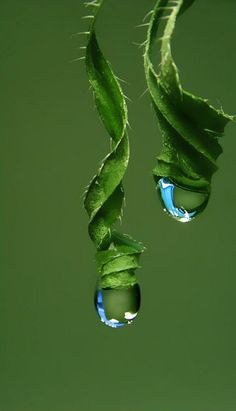 water droplets in tendrils Dew Drops, Rain Drops, Fotografia Macro, Water Droplets, Shades Of Green, Color Shades, Amazing Nature, Belle Photo, Amazing Photography