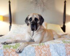 mastiff so adorable American Mastiff, Portrait, Dogs, Life, Animals, Animales, Headshot Photography, Animaux, Pet Dogs