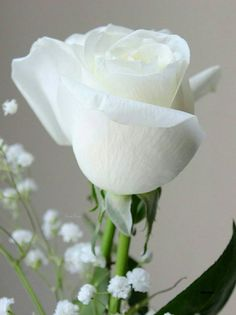 White Rose Flower, Beautiful Rose Flowers, Love Flowers, White Roses Wallpaper, Rose Flower Wallpaper, White Flower Arrangements, Rainbow Roses, Rose Pictures, Colorful Roses