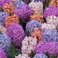 """""""Meine Lieblingshyazinthenmischung, sanfte und doch helle Farben, die einander verstärken, wenn sie zusammen gepflanzt werden."""" – Carlos van der Veek. Perfekt aufeinander abgestimmte Blumenzwiebelmischungen gibt es bei www.fluwel.de. Pflanzzeit ist im Herbst."""