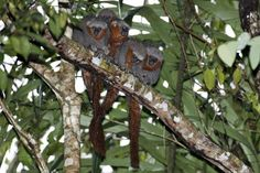 New Titi Monkey Found: Fire-Tailed, With Sideburns Amphibians, Mammals, National Geographic, Pink River Dolphin, Mountainous Terrain, Amazon River, Pet Monkey, Vertebrates, Natural World