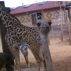 Houston Zoo Jun 20, 0216 ·  BUBBLES! Our keepers decided to blow bubbles as visual enrichment for the ostriches and giraffes. While the giraffes were not too interested, the ostriches loved following around and popping the bubbles!