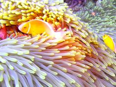 Yellow Anemone by Bonnie Ryan, via 500px - I used to be a tidepooler, admiring the green anemones and big red and orange sea stars in the rocky pools at Fitzgerald Marine Reserve on the Northern California coast.  But this is so much better, seeing the tropical anenomes and brilliantly colored fish in the tropical waters of the Mariana's.  My heart truly does sing to see it, and imagine myself there, with this whole magical world around me.