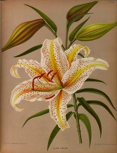 Mountain Lily, Goldband Lily - Lilium auratum - circa 1881