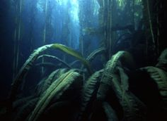 Alaskan Kelp Forests, the page has quite a few other really interesting photos of kelp.