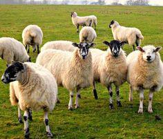 Астраханская область: Российская выставка племенных овец пройдет в 2017 году