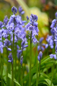 Bluebells in the rain - By Four Seasons Garden