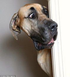 Владелец датского дога просит того проснуться и отправиться на прогулку! Реакция пса великолепна!