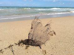 A dried up leaf on Ocean Park Beach, San Juan, Puerto Rico