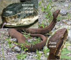 Cottonmouth Water Moccasin Belly