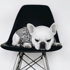 French Bulldog, @theobonaparte