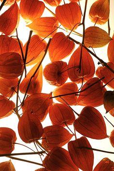 Chinese Lanterns, Phalaris :)