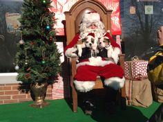 Annual Santa event.  #englishbulldog #puppies #naturallylocal