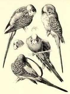 X RARE c1945 Old Tunnicliffe Art Print Budgerigar Bird Budgie Study of Parakeet | eBay