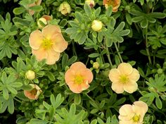 Potentilla fruticosa Sunset. | For the yard | Pinterest ...