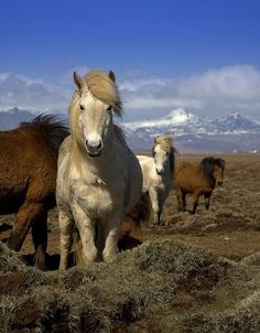 I so hope I come across some wild horses like these while I'm in Iceland.