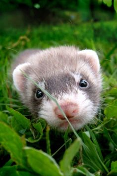 Looks like Igor my favorite ferret.  No one can be unhappy with a ferret in the house!