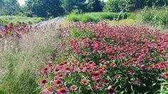 Echinacea bed at Coastal Maine Botanical Garden.