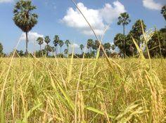 Cambodia rice field. #travel #cambodia
