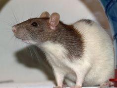 Get Rid of Those Nasty Rats! - Do Pest Control Yourself