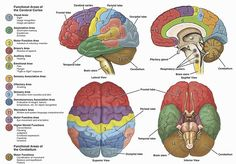 Anatomy of the human brain for Medical Neuroscience course.