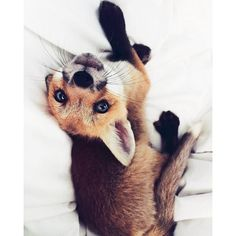 Meet Juniper, The Pet Fox Who's Basically An Orange Dog ❤ liked on Polyvore featuring pets