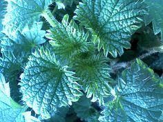 Salvia, Growing Plants, Plant Leaves, Solar, Flowers, Felicia, Gardening, Plant, Sage