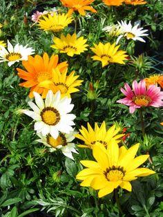 Happy Birthday dear friend @kathy jo  Hope it's a great day and wonderful year for you!  — #flowersforfriends #ThisIsMyThankYou #tgif #GazaniaMania #FlowersInMyGarden #mythoughtsofspring #nature #landscape #GazaniaLuv #WeLoveNature • LynnO on Streamzoo