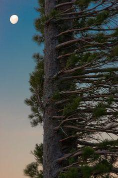 Pine tree, Patagonia moment love