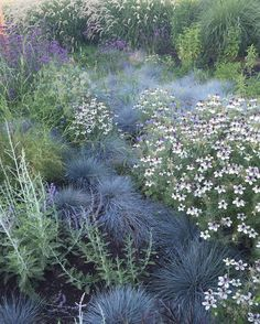 "119 Likes, 10 Comments - Homestead Design Collective (@homesteaddesigncollective) on Instagram: ""Nigella hispanica 'African Bride' + Blue Fescue in our meadow planting at @sunsetmag 's test…"""