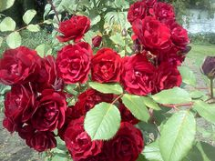hope for humanity rose - small shrub, easy care, regional, grow in a pot? Small Shrubs, Iris, Red Roses, Orange, Regional, Garden, Plants, Easy, Flowers