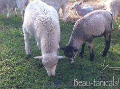 Sheep Baaaad