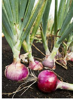 "9 Tricks for Growing Onions- ""it's always a good idea to grow onions in their own bed away from other plants. That way the onions will get the curing time to dry. But if you plant onions among other plants that need water, you can rot the onions. """