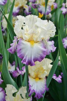 Tall Bearded Iris 'Day on the Bay'