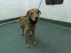 JENN (A1642562) I am a female tan Terrier. The shelter staff think I am about 4 months old and I weigh 13 pounds. I was found as a stray and I may be available for adoption on 09/10/2014. — at Miami Dade County Animal Services.